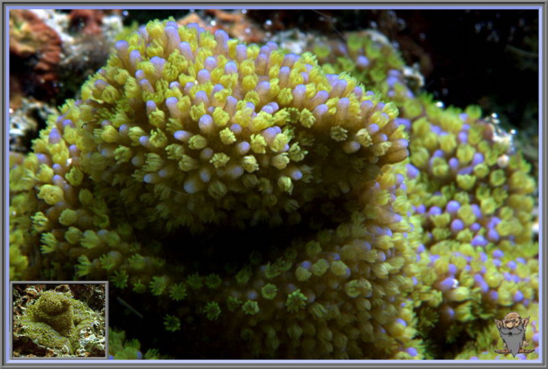 Green Star Polyp  Green Star Polyps Coral NEW CORAL Evergreen Starburst Polyp News  . Green Star Polyp Lighting Requirements. Home Design Ideas
